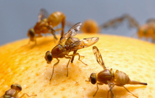 Mexican Fruit Flies Doing Their Thing