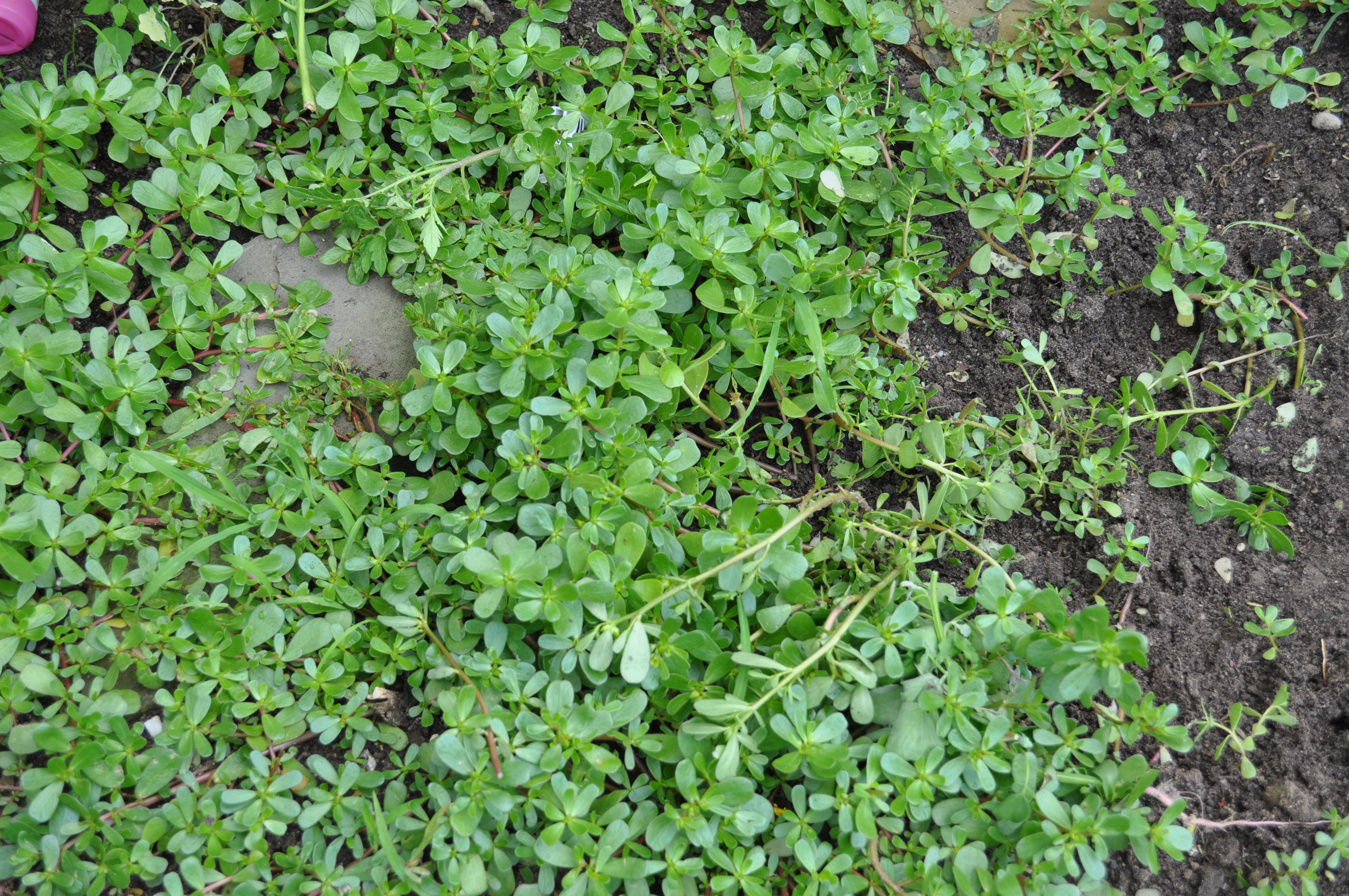 Purslane naturally thriving on one end of our garden