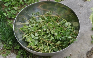 Harvested purslane, roots snapped off picked and plopped in a bowl